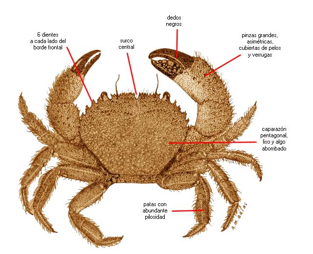Eriphia verrucosa (nombre científico) / Ictioterm.es