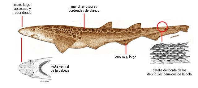 Galeus melastomus (nombre científico) / Ictioterm.es