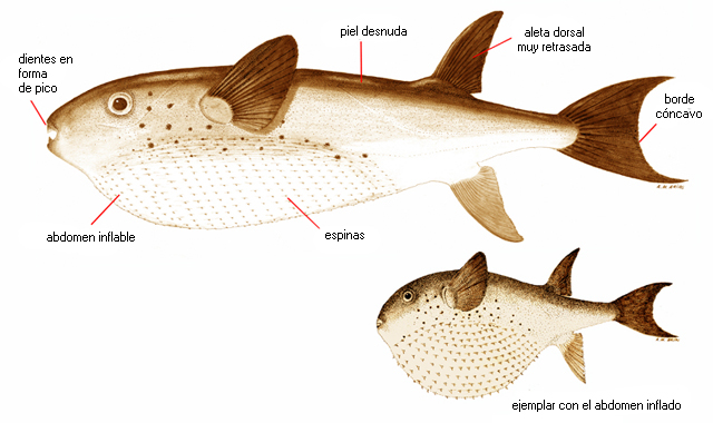 Lagocephalus lagocephalus lagocephalus (nombre científico ...