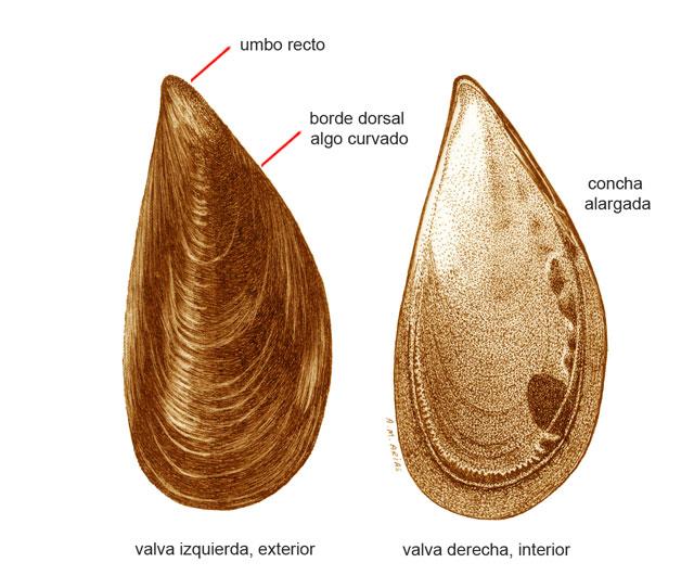 Mytilus edulis (nombre científico) / Ictioterm.es