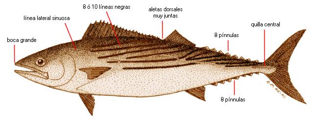 Sarda sarda (nombre científico) / Ictioterm.es