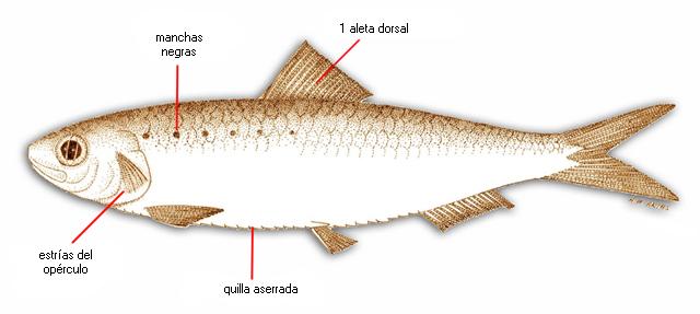 Resultado de imaxes para sardina pilchardus