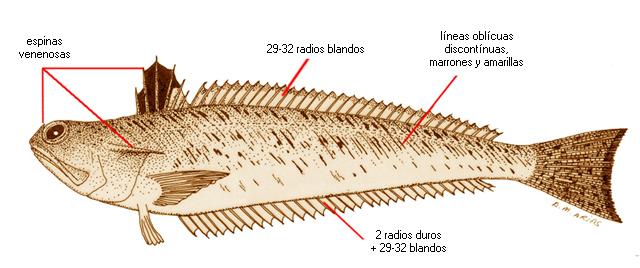Trachinus draco (nombre científico) / Ictioterm.es