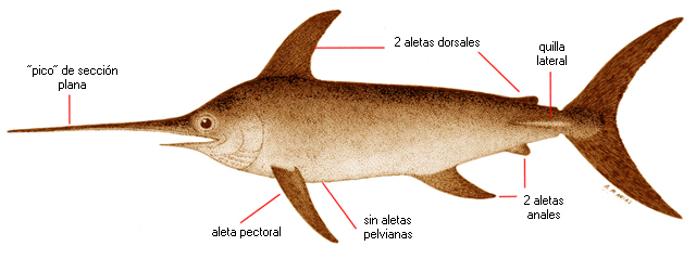 Xiphias gladius nombre cient fico for Curiosidades del pez espada