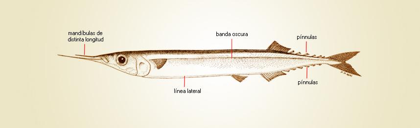 Resultado de imaxes para Scomberesox saurus